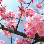 """2月に桜!?本州で一番早い桜""""河津桜"""""""