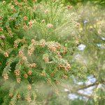 スギ花粉の飛散時期(いつからいつまで)と予防・対策について
