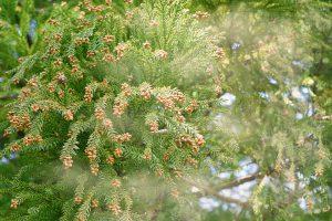 スギ花粉の症状と飛散時期 - スギ花粉症の予防と対策