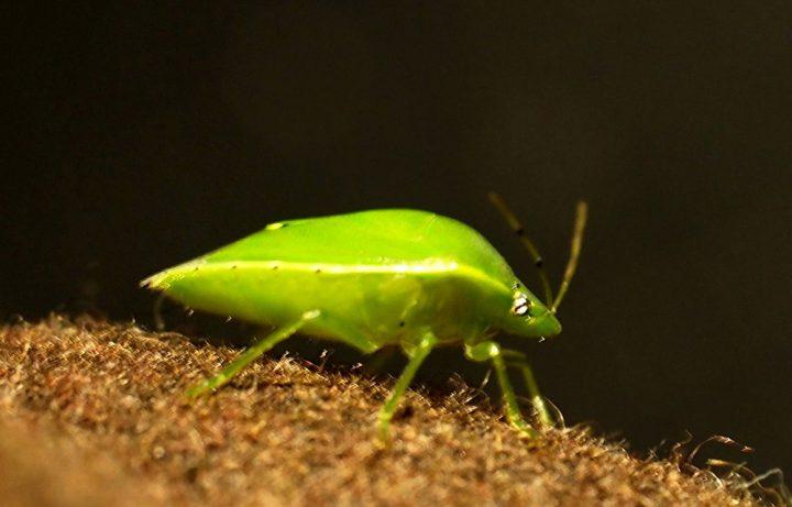 カメムシのライフサイクルと生態