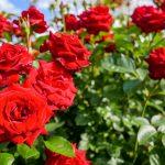 バラの育て方 – 初心者が知っておきたいバラ栽培のコツ