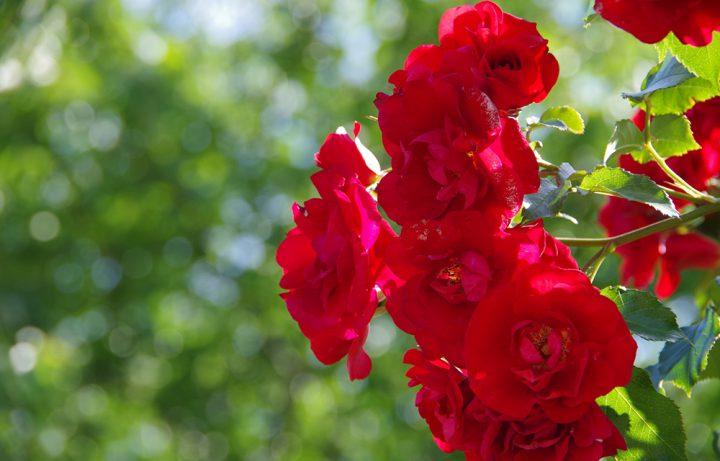 「花の女王」を育てて華やかな風景を演出しよう!