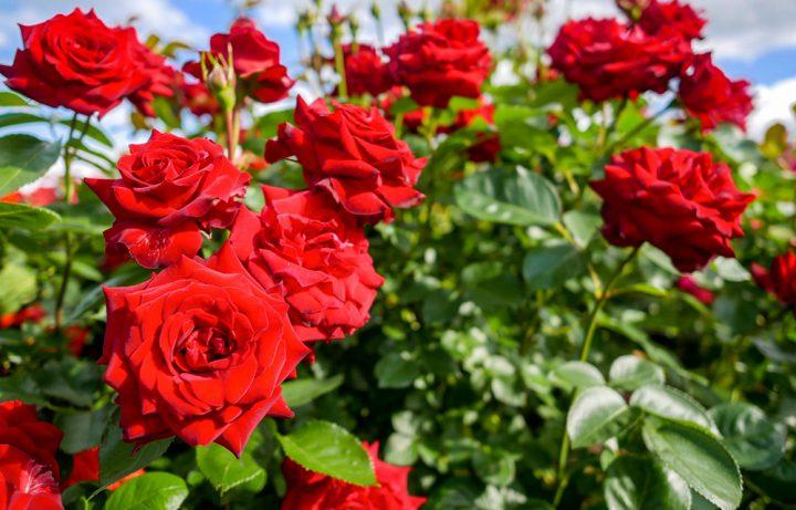 バラの育て方 - 初心者が知っておきたいバラ栽培のコツ