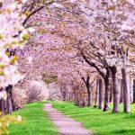 2019年 桜の開花予想