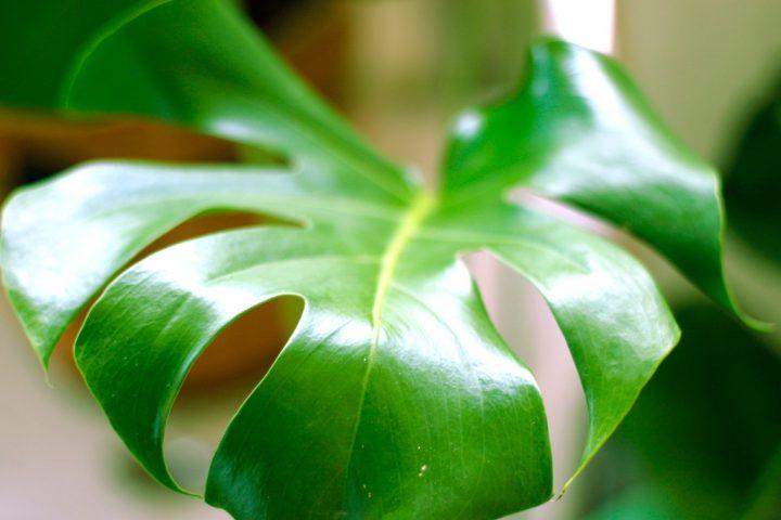 ユニークな葉姿のモンステラ