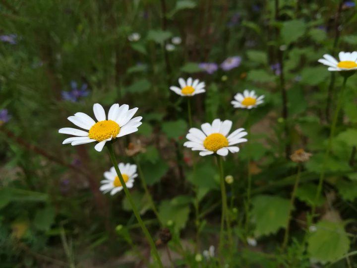 ジョチュウギク(除虫菊)