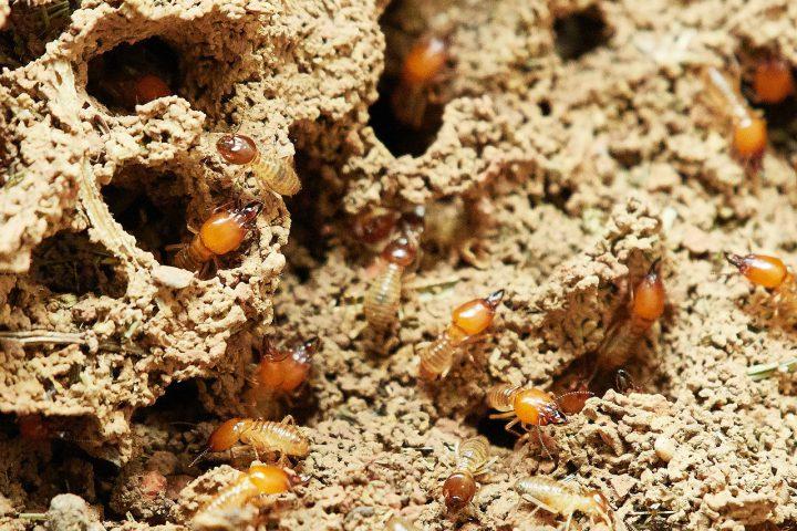 シロアリの巣