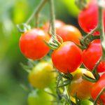 家庭菜園でのトマトの育て方やコツをご紹介【初心者でも安心】