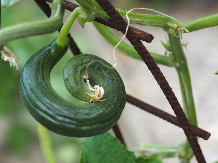 きゅうりの栽培時のトラブル