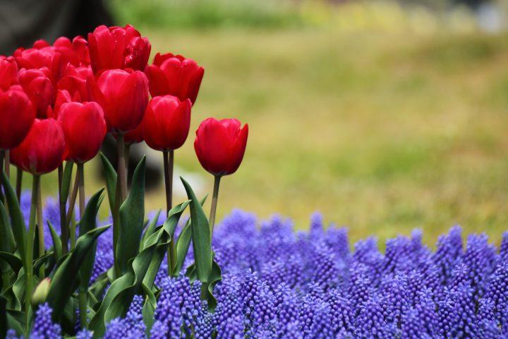 春を華やかに彩る秋植え球根を選ぼう