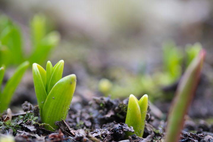 秋植え球根を植えて春を楽しみに待とう