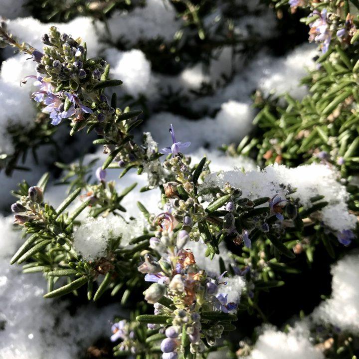 ハーブの冬越し~花だんと寄せ植え