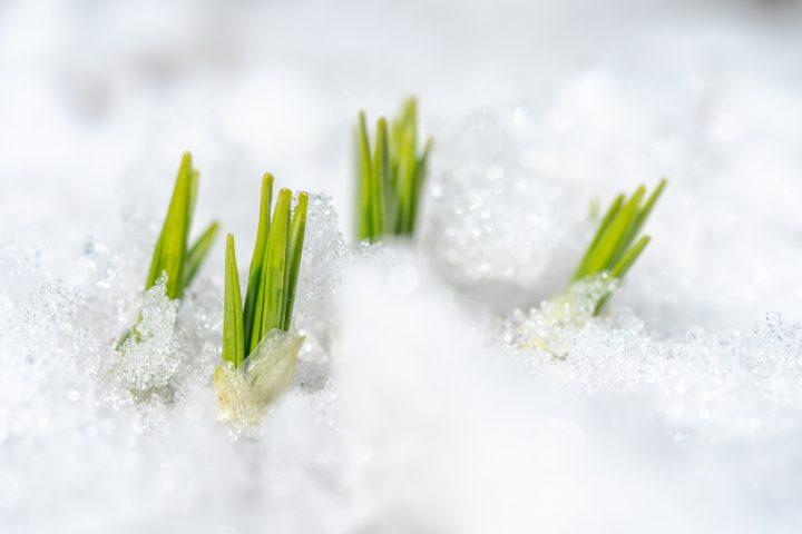 球根の冬越し~花だんと寄せ植え