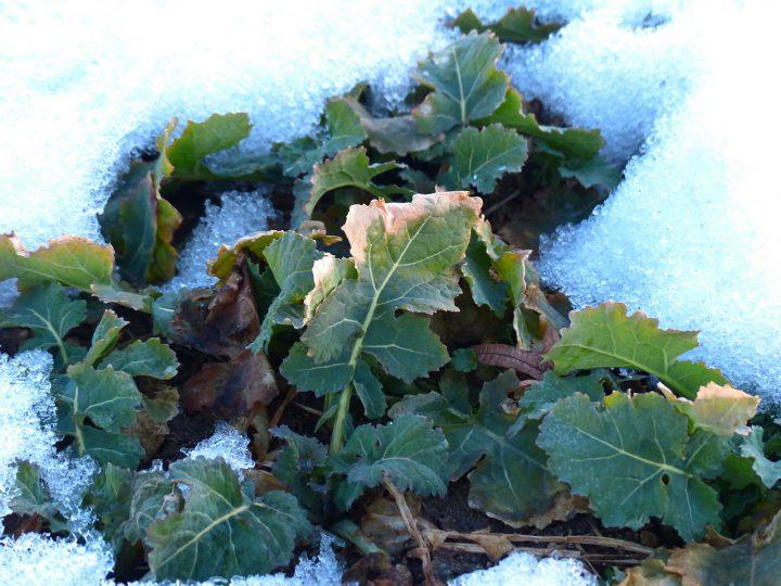 野菜の冬越し~畑とプランター