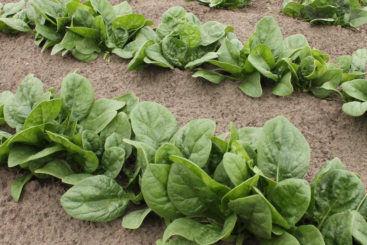 冬におすすめの家庭菜園7選。気をつけたいポイントと合わせて解説