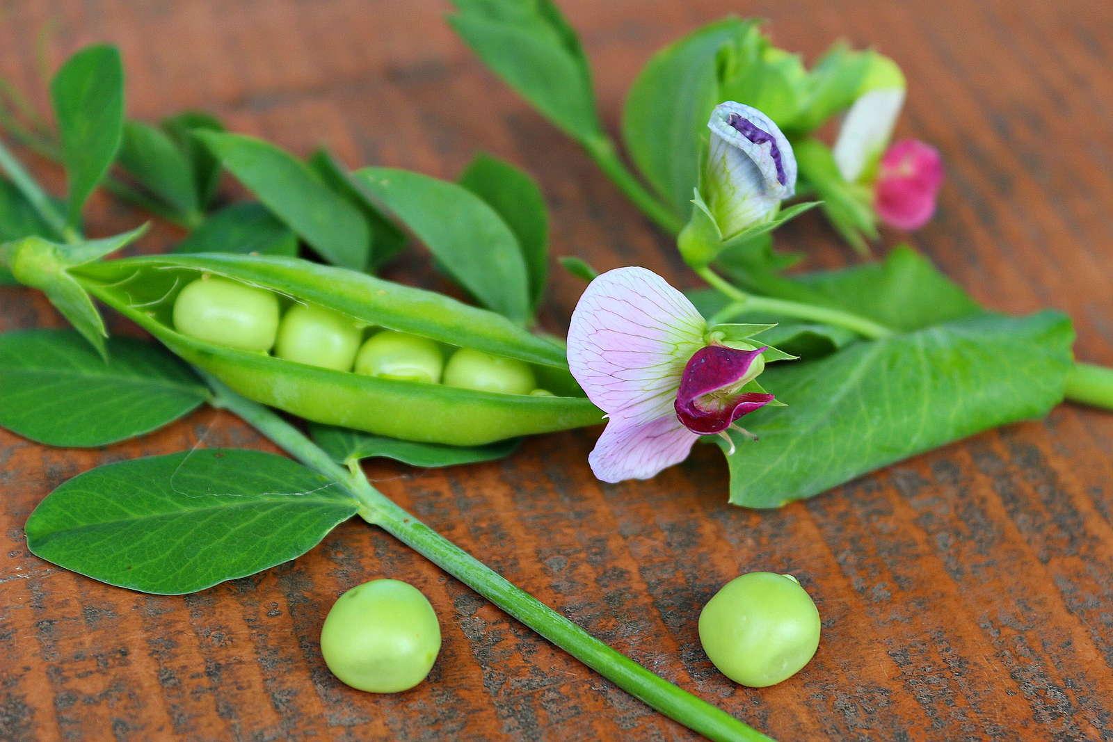 ⑦エンドウ豆の生育を楽しむ