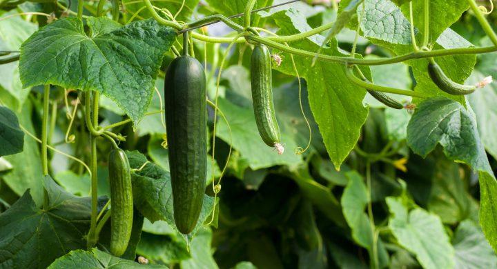 野菜に被害が多いべと病