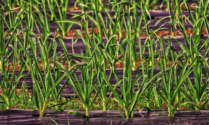 ネギ類は特に注意!さび病にかかりやすい植物