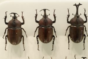 世界にはどれくらいの種類のカブトムシがいるの?カブトムシの生態とともに紹介