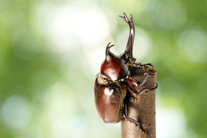 日本に生息するカブトムシ