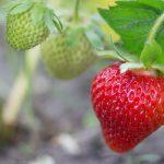 【プランターでいちご栽培!】初めてでも上手にできる甘くておいしいいちごの育て方