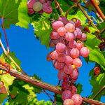 おうちで果樹を育ててみよう!園芸におすすめの果樹と育て方を解説