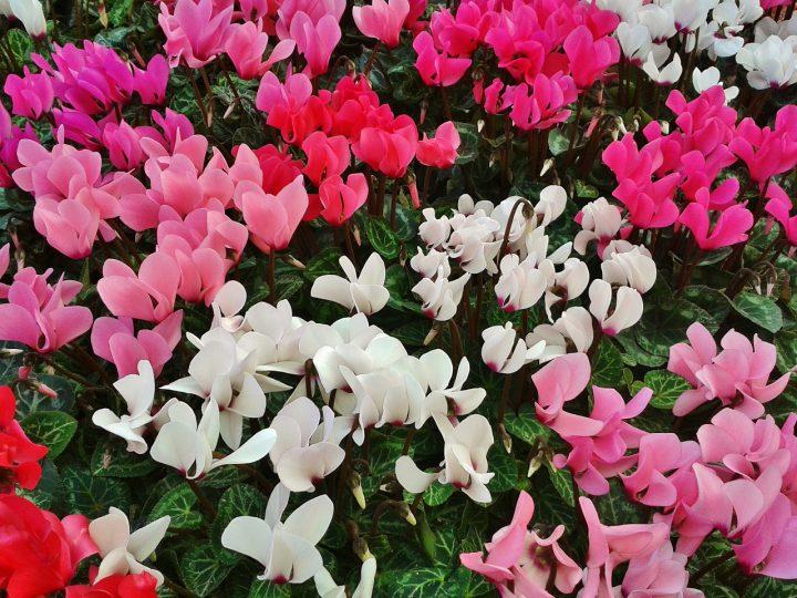 シクラメンの育て方。翌年も咲かせる夏の休眠法や注意点などを解説