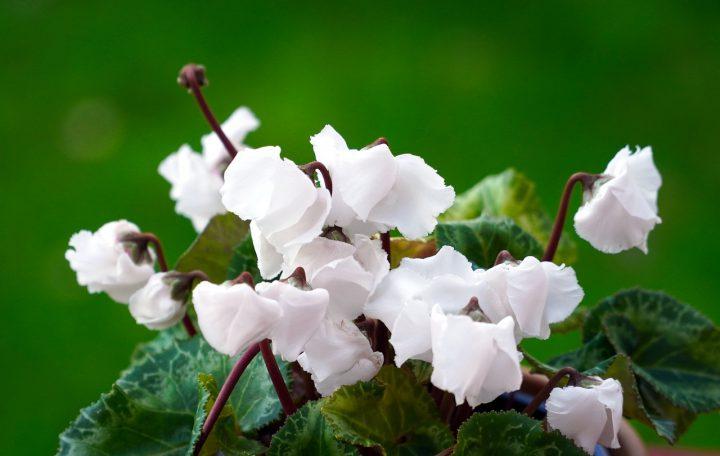上手な休眠で翌年も咲かせるシクラメンを育てましょう!