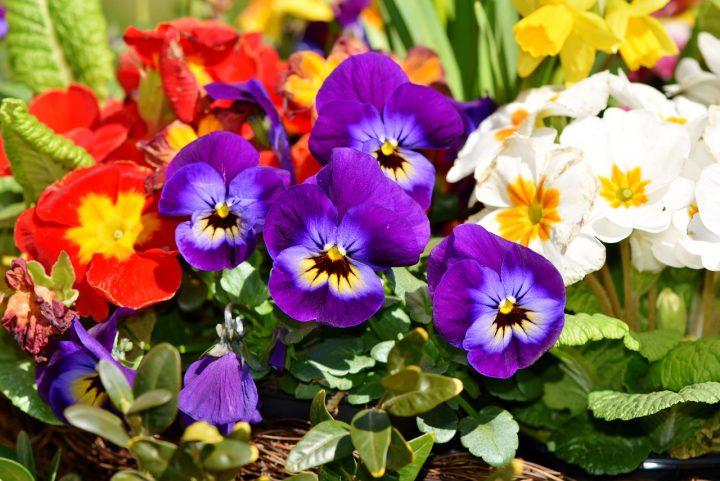華やかな春の寄せ植えを楽しもう