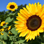 黄色い花を咲かせよう!黄色い花の種類を春・夏・秋・冬の季節ごとに紹介