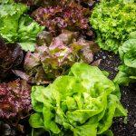 【2月に植える野菜】家庭菜園でも手軽にできる種類と育て方