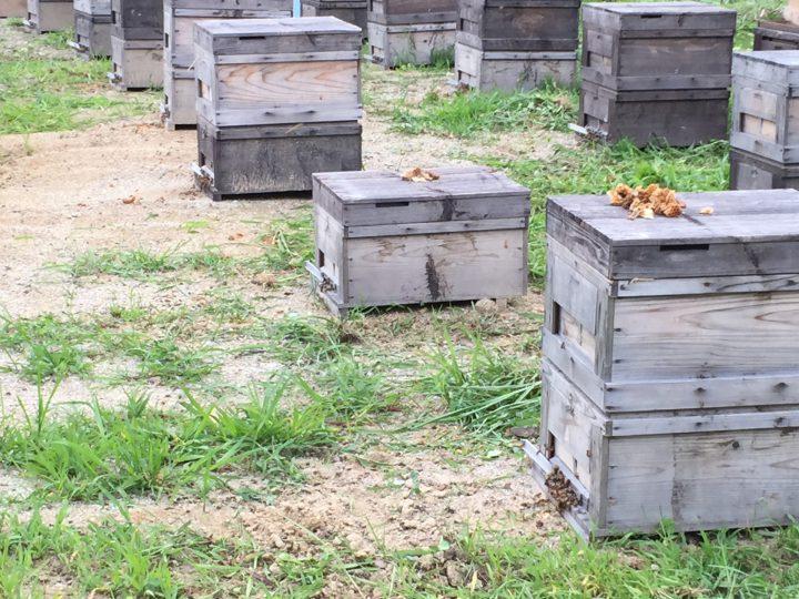 スズメバチはミツバチを襲う?