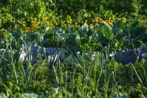 コンパニオンプランツを活用して野菜を栽培しよう!植え方や組み合わせ一覧