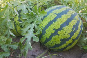 【スイカの育て方】種まきから肥料や水やり・収穫まで栽培方法を解説