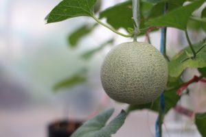 【メロンの育て方】基本の育て方やプランターでの栽培方法も解説
