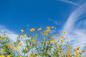【キバナコスモスの育て方】種まきや開花時期はいつ?花言葉も解説
