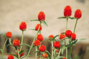 千日紅(センニチコウ)の育て方を種まきから植えつけまで徹底解説