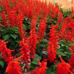 【サルビアの育て方】種まきの方法から水やり・切り戻し・施肥・冬越しの方法まで解説
