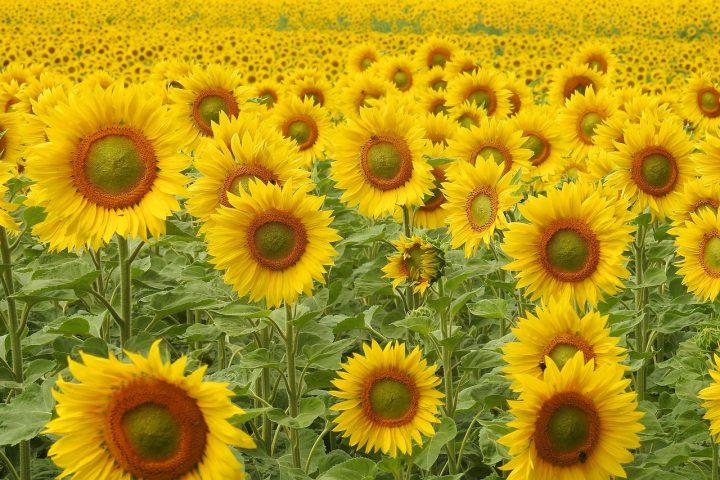 この夏は育て方が簡単なひまわりを植えよう!