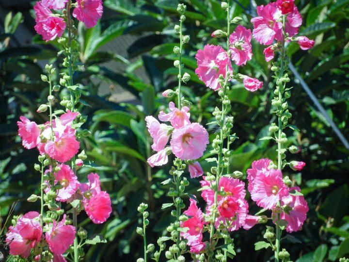 タチアオイ(ホリホック)は八重咲きの方が人気?タチアオイの育て方や注意すべき害虫を解説