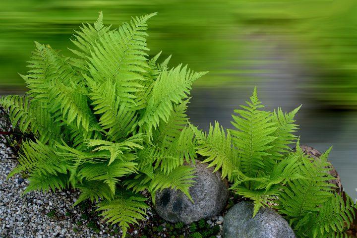 木陰のシェードガーデンにおすすめの植物